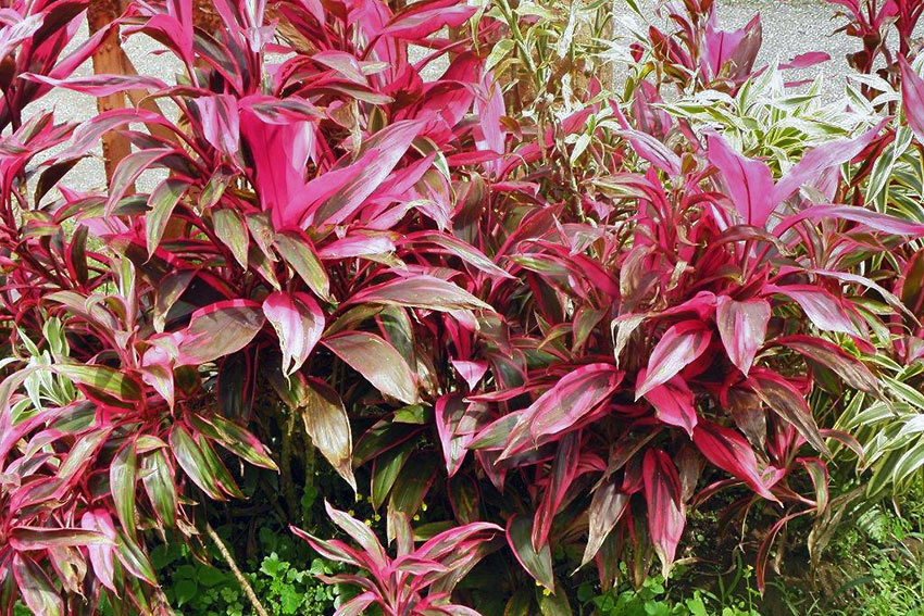 red tropical plant