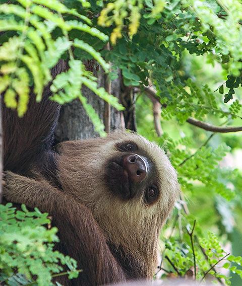 Three-toed sloths at Diamante Eco-Adventure Park's zoo